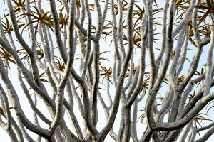 Kokerboom Or Quiver Tree (Aloe Dichotoma) Quiver Tree Forest, Kalahari, Namibia by Enrique Lopez-Tapia