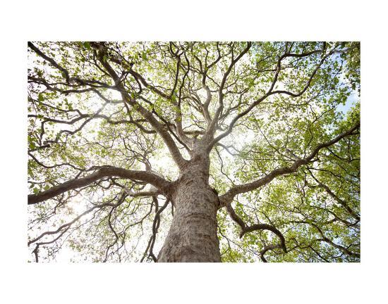 Enticing Oak-Michael Hudson-Art Print