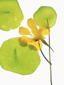 Yellow Nasturtium Flower with Green Leaves by Envision