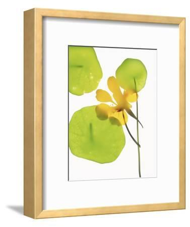 Yellow Nasturtium Flower with Green Leaves