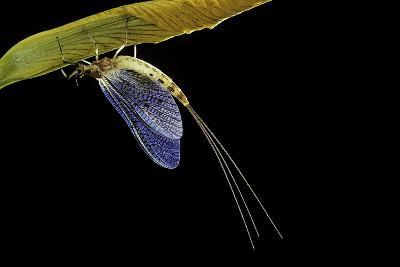 Ephemera Danica (Mayfly)-Paul Starosta-Photographic Print