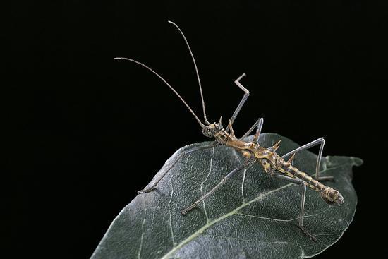 Epidares Nolimetangere (Touch Me Not Stick Insect)-Paul Starosta-Photographic Print