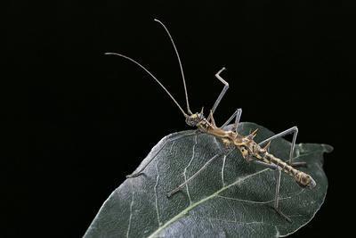 https://imgc.artprintimages.com/img/print/epidares-nolimetangere-touch-me-not-stick-insect_u-l-pzqsat0.jpg?p=0