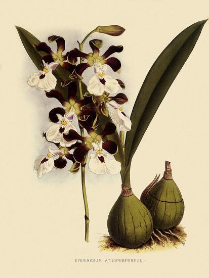 Epidendrum Atropurpureum-John Nugent Fitch-Giclee Print