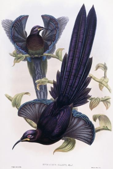 Epimachus Ellioti, Ward, C.1891-1898-William Hart-Giclee Print