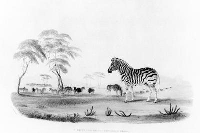 Equus Burchelli, or Burchell's Zebra, from 'Portraits of the Game and Wild Animals of Southern…-William Cornwallis Harris-Giclee Print