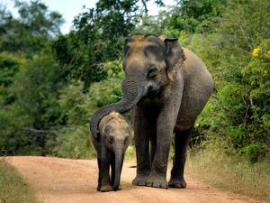 APTOPIX Sri Lanka Elephants by Eranga Jayawardena