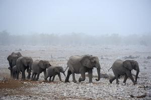 African Elephant (Loxodonta Africana) Herd with Calves by Eric Baccega