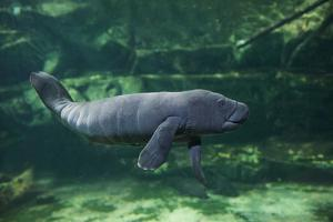 Caribbean manatee or West Indian manatee baby, captive, Beauval Zoo, France by Eric Baccega