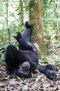Chimpanzee male sleeping, Kibale National Park, Uganda by Eric Baccega