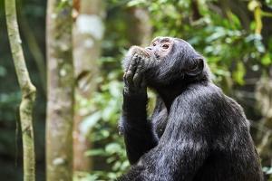 Chimpanzee (Pan troglodytes schweinfurthii) male, scratching, Kibale National Park, Uganda by Eric Baccega