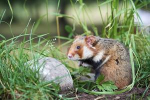 Common hamster, Alsace, France, June, captive by Eric Baccega