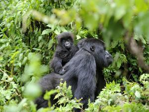 Female Mountain Gorilla Carrying Baby on Her Back, Volcanoes National Park, Rwanda, Africa by Eric Baccega