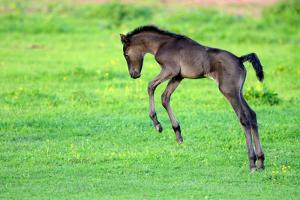 Five Day Old Purebred Andalusian Foal (Equus Caballus) Playing in a Field, Alsace, France, May by Eric Baccega