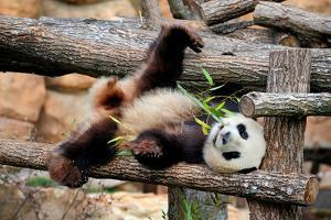 Giant Panda (Ailuropoda Melanoleuca) Lying On Climbing Frame Eating Bamboo by Eric Baccega