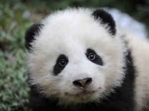 Giant Panda Baby, Aged 5 Months, Wolong Nature Reserve, China by Eric Baccega