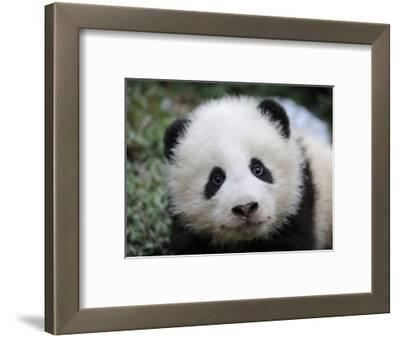 Giant Panda Baby, Aged 5 Months, Wolong Nature Reserve, China