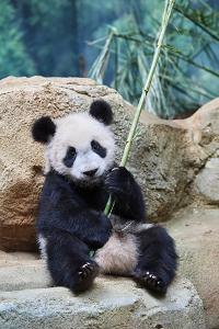 Giant panda cub playfuly chewing a bamboo stick. Captive at Beauval Zoo by Eric Baccega