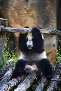 Giant panda cub playing on wooden structure. Captive at Beauval Zoo, France by Eric Baccega