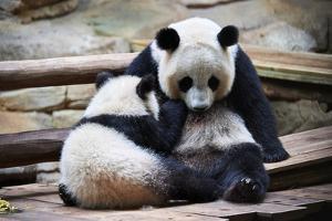 Giant panda cub Yuan Meng suckling from his mother Huan Huan. Captive at Beauval Zoo by Eric Baccega