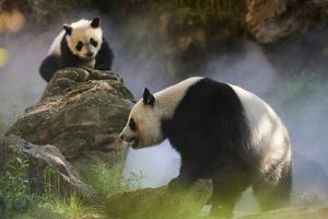 Giant panda female Huan Huan and her cub in their enclosure. Captive at Beauval Zoo by Eric Baccega