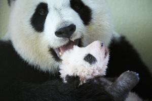Giant panda female, Huan Huan, holding baby, aged two months, Beauval Zoo, France by Eric Baccega
