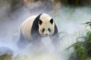 Giant panda female, Huan Huan, out in her enclosure in mist, captive at Beauval Zoo by Eric Baccega