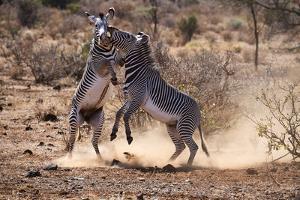 Grevy zebra (Equus grevyi) stallions fighting, Samburu National Reserve, Kenya. by Eric Baccega