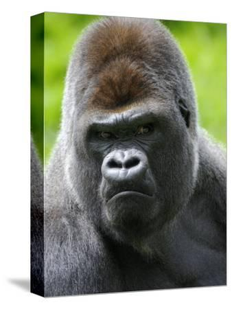 Head Portrait of Male Silverback Western Lowland Gorilla Captive, France