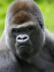 Head Portrait of Male Silverback Western Lowland Gorilla Captive, France by Eric Baccega