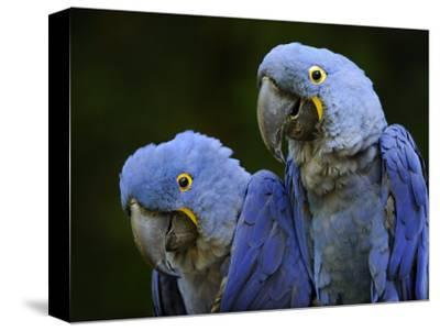 Hyacinth Macaw Pair, from South America, Endangered