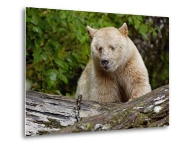 Kermode Spirit Bear, White Morph of Black Bear, Princess Royal Island, British Columbia, Canada