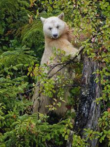 Kermode Spirit Bear, White Morph of Black Bear, Princess Royal Island, British Columbia, Canada by Eric Baccega
