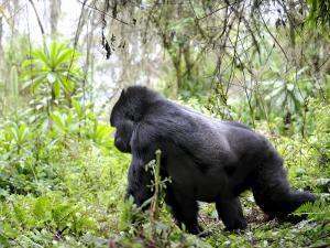 Male Silverback Mountain Gorilla Knuckle Walking, Volcanoes National Park, Rwanda, Africa by Eric Baccega
