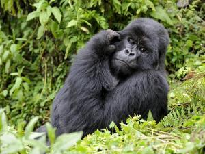 Male Silverback Mountain Gorilla Scratching Face, Volcanoes National Park, Rwanda, Africa by Eric Baccega