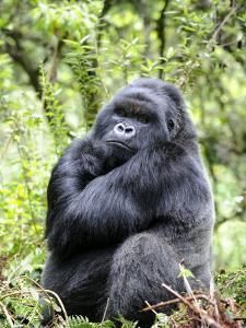 Male Silverback Mountain Gorilla Sitting, Volcanoes National Park, Rwanda, Africa by Eric Baccega