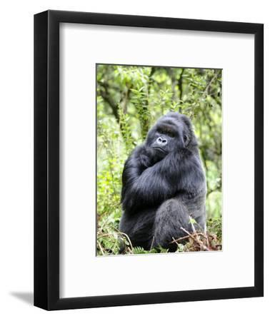 Male Silverback Mountain Gorilla Sitting, Volcanoes National Park, Rwanda, Africa