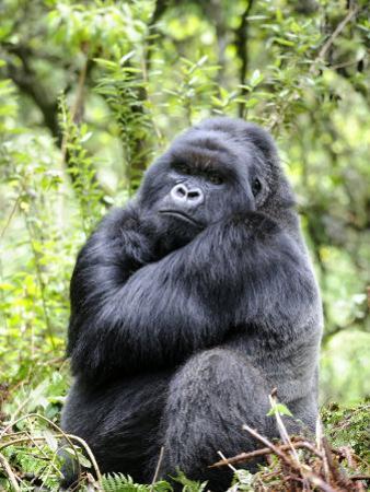 Male Silverback Mountain Gorilla Sitting, Volcanoes National Park, Rwanda, Africa