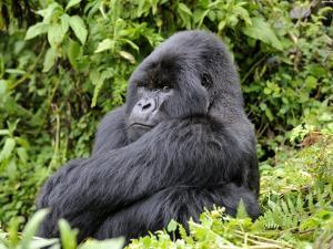 Male Silverback Mountain Gorilla Sitting, Watching, Volcanoes National Park, Rwanda, Africa by Eric Baccega