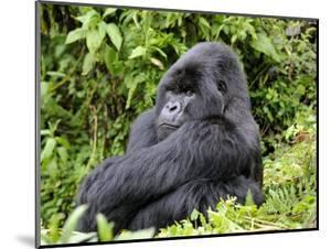 Male Silverback Mountain Gorilla Sitting, Watching, Volcanoes National Park, Rwanda, Africa by Eric Baccega