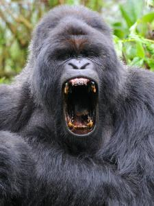 Male Silverback Mountain Gorilla Yawning, Volcanoes National Park, Rwanda, Africa by Eric Baccega