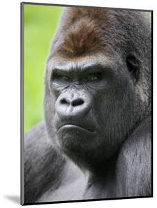 Male Silverback Western Lowland Gorilla Head Portrait, France by Eric Baccega