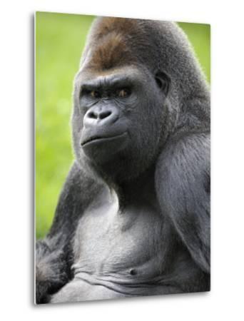 Male Silverback Western Lowland Gorilla Portrait, France