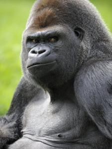 Male Silverback Western Lowland Gorilla Portrait, France by Eric Baccega
