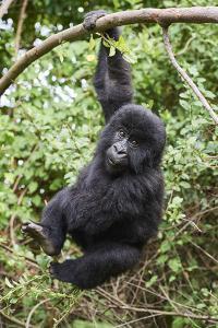 Mountain gorilla juvenile, Mgahinga National Park, Uganda by Eric Baccega