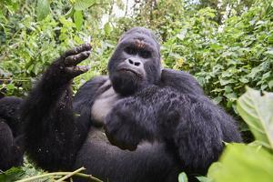 Mountain gorilla silverback male feeding on Driver ants, Virunga National Park by Eric Baccega