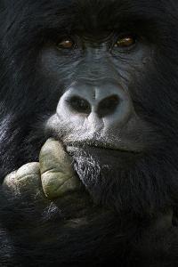 Mountain gorilla silverback male, portrait, Mgahinga National Park, Uganda by Eric Baccega