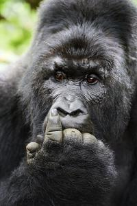 Mountain gorilla silverback male with fingers in mouth, Virunga National Park by Eric Baccega