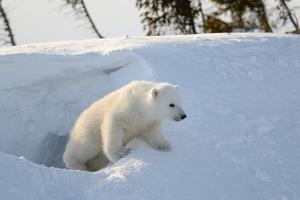 Polar Bear Cub 3 Months (Ursus Maritimus) Playing In The Front Of The Day Den In March by Eric Baccega