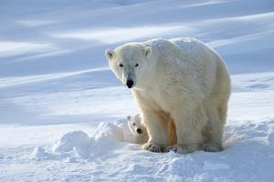 Polar Bear (Ursus Maritimus) Female Coming Out The Den With One Three Month Cub by Eric Baccega
